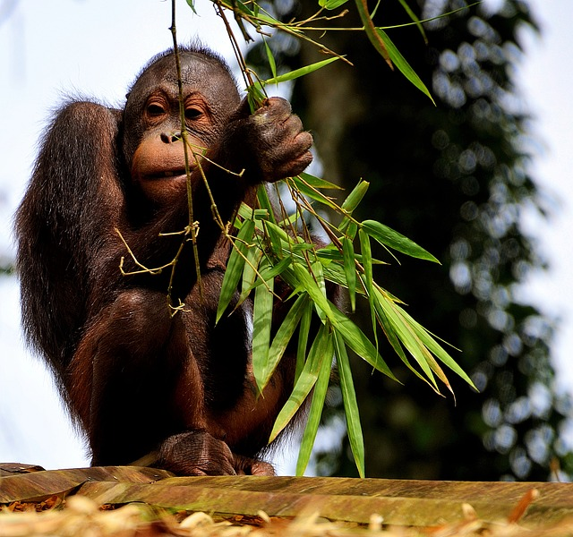 orangutan u větve